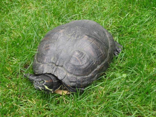 Ma tortue (pour le plaisir des critiques de Génia !!) 373160pepette1