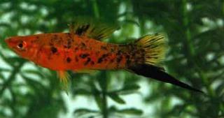 Xiphophorus helleri 38916x1