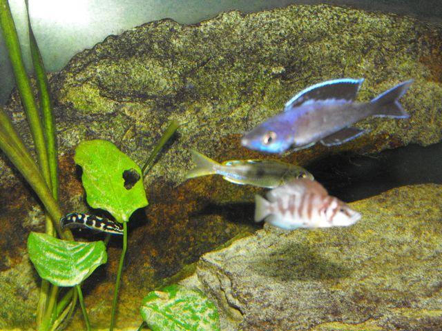 Cyprichromis leptosoma 397281DSCF2158