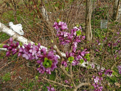 Daphne mezereum, Bois gentil, Bois joli! 410097P1020712_edited___