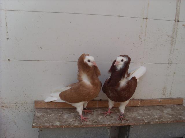 reproduction  capucins  hollandais 412919SL370024