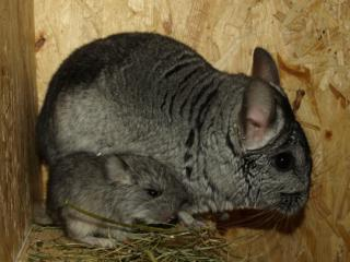Chinchilla 4131272