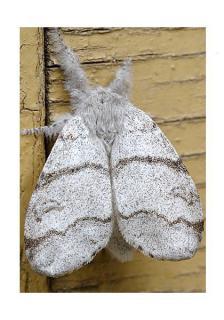le déffilé des chenilles et des papillons 419091calliptera_pudibunda