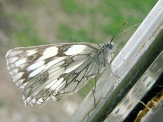 le déffilé des chenilles et des papillons 454110DSC00800_edited