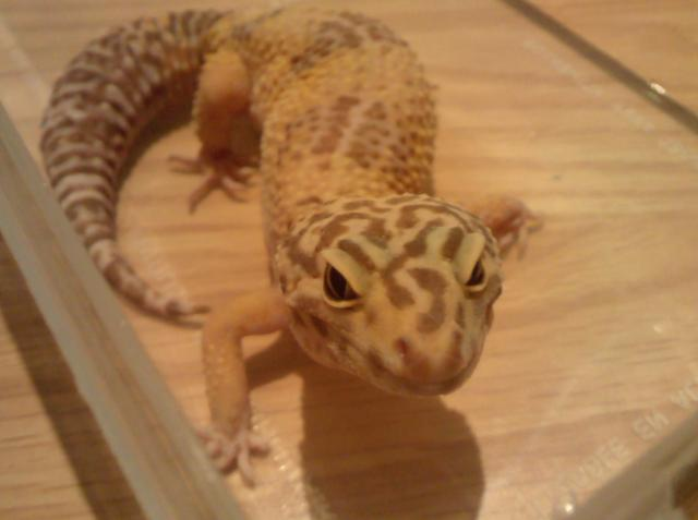 Gecko Léopard albinos tangerine Femelle 48025Gecko_Leopard_albinos_tangerine__23_