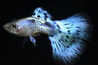 Poecilia reticulata 498118a03