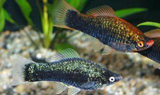 Xiphophorus helleri 5509461