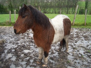 PIPO - Poney OI typé Shetland né en 1990 - adopté en septembre 2009 par Justine et Janine 597249PIPO_CHALAIS___3_