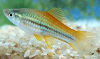 Xiphophorus helleri 628926x5