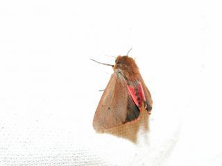 le déffilé des chenilles et des papillons 653791papnuit_a4