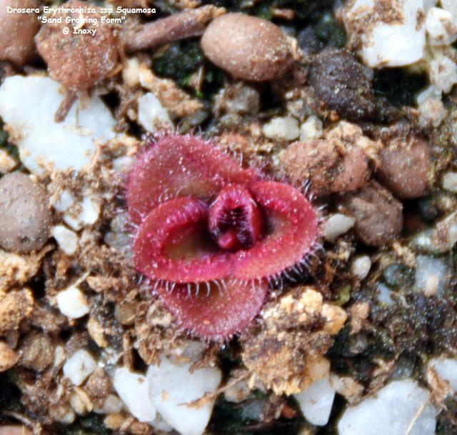 D.Erythrorhiza ssp Squamosa Sand Form 659449Drosera_Erythrorhiza_ssp_Squamosa_Sand_Growing_Form_640x480_20_04_10