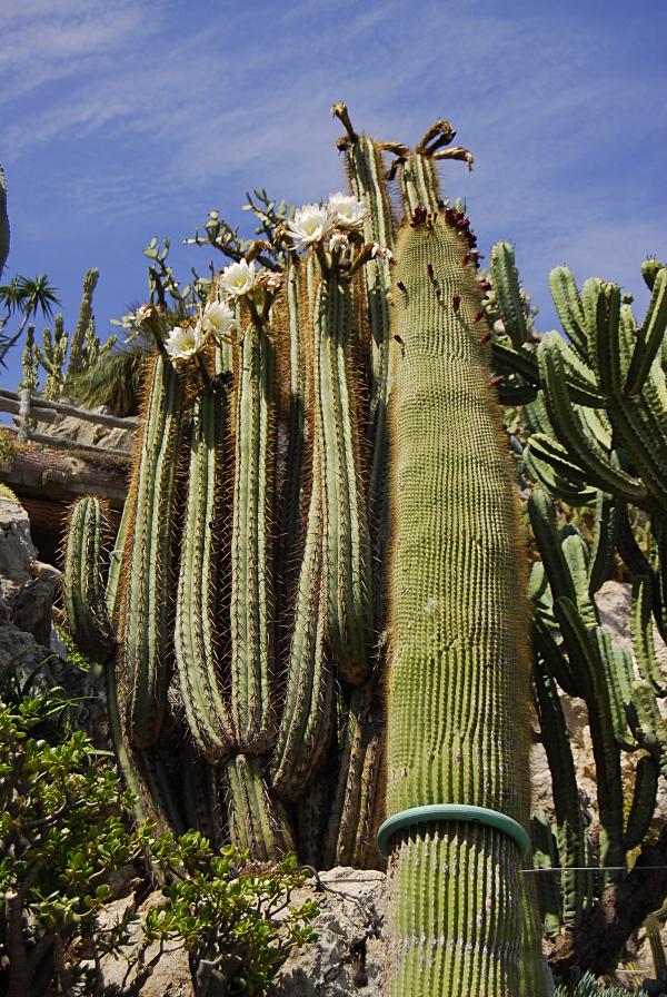 Jardin exotique de Monaco 667807_DSC0205