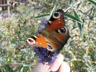 le déffilé des chenilles et des papillons 699877DSC03154