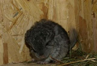 Chinchilla 7089621