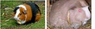Cochon d'inde 7094311