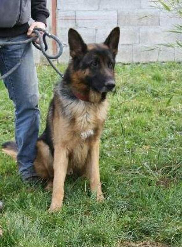 Beuck, beau berger allemand de 3 ans (39) 73841bv000004