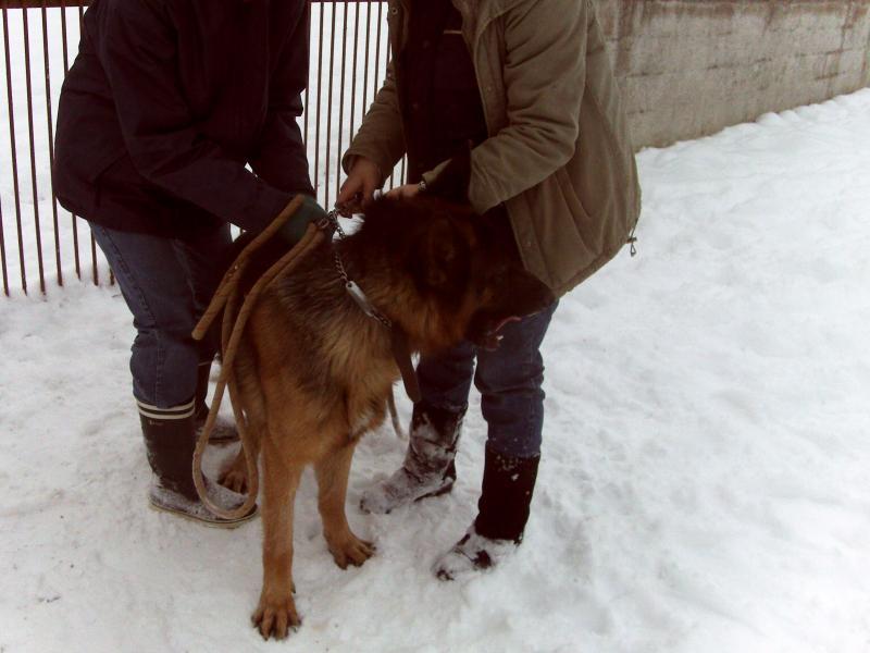 Beuck, beau berger allemand de 3 ans (39) 759562DSC_0002