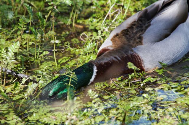Parc ornithologique du Marquenterre 779386Marquenterre_Avril_2010_RAW_237_DxO_raw__800x600_