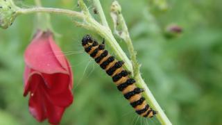 le déffilé des chenilles et des papillons 816281DSC02488