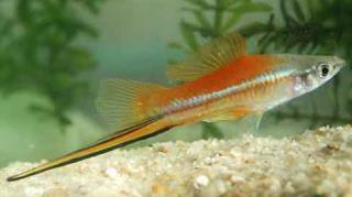 Xiphophorus helleri 824646x6