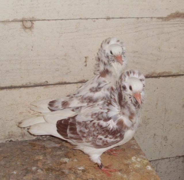 reproduction  capucins  hollandais 862587SL370031