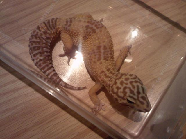 Gecko Léopard albinos tangerine Femelle 877104Gecko_Leopard_albinos_tangerine__22_