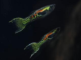 Poecilia reticulata 905452a05