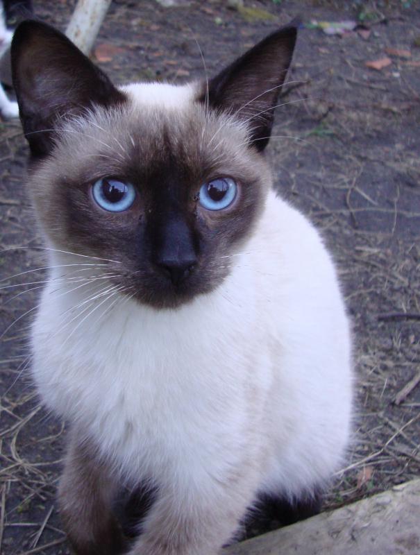 Extrêmement chats siamois/Birmans etc trouvés sur le net - Page 7 SV89