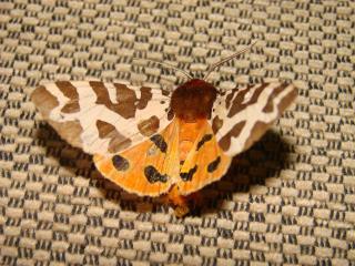 le déffilé des chenilles et des papillons 930609photos_028