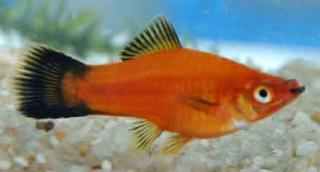 Xiphophorus helleri 932646x4