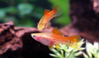Xiphophorus helleri 987181