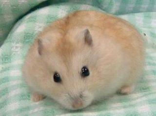 Hamster de Campbell 144423Capture4
