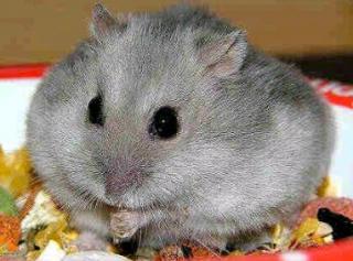 Hamster de Campbell 175376
