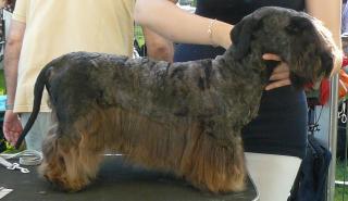 Cesky Terrier 209055P1030271