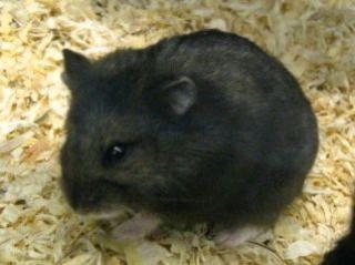 Hamster de Campbell 411837Capture6