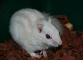 Ecureuil de Corée 48990ecureuil_albinos1