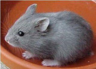 Hamster de Campbell 524771blue_berry