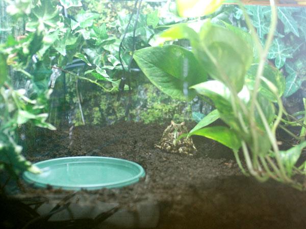 Gloumbi la grenouille pacman 553079DSC_0052