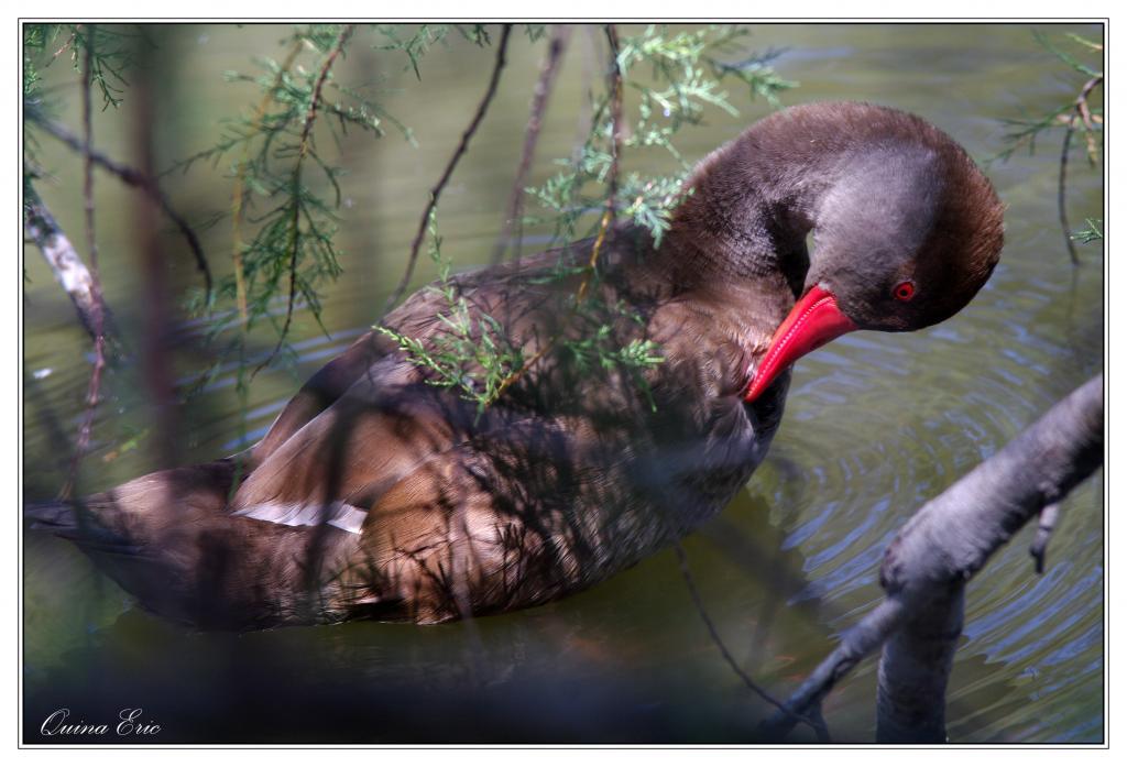 La danse des canards 573813IMGP4081a