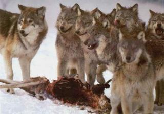 Les loups...... - Page 4 618698pmcechzx