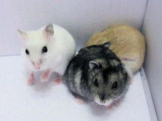 Hamster de Campbell 623061
