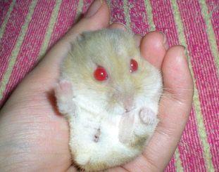 Hamster de Campbell 67838Capture02