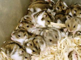 Hamster de Campbell 697027pie