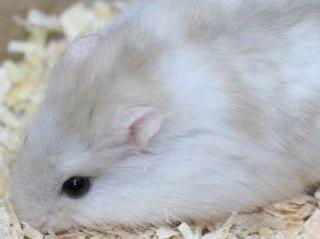 Hamster de Campbell 72407814
