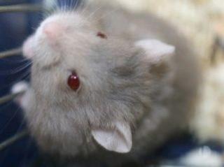 Hamster de Campbell 89291beige