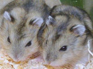 Hamster de Campbell 89920513