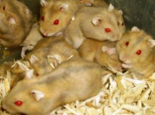 Hamster de Campbell 909029yellow