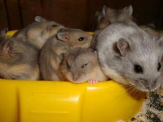 Hamster de Campbell 9737465