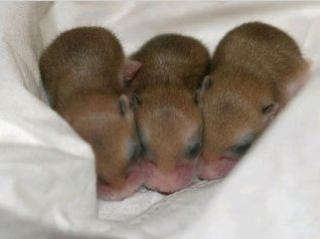 Hamster de Campbell 977767beige_bb