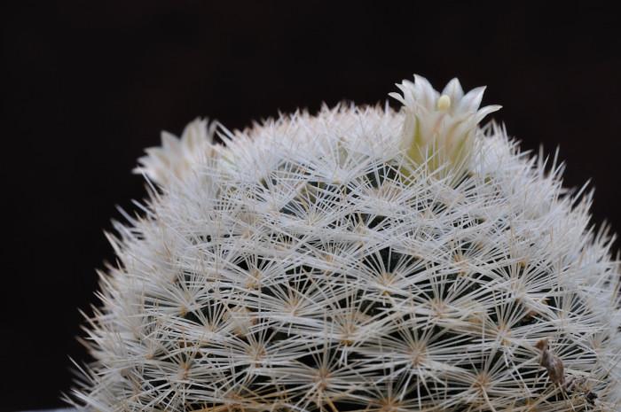 Mammillaria egregia Dsc8519
